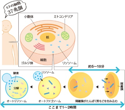オートファジーとは、細胞中のさまざまなものを包み込んで分解する細胞内の掃除役