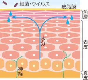 バリアの正常な皮膚