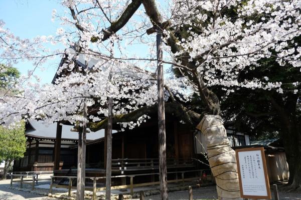 東京の標本木(靖国神社)は3月22日に満開。去年と同じ歴代2位の早さでした(筆者撮影)