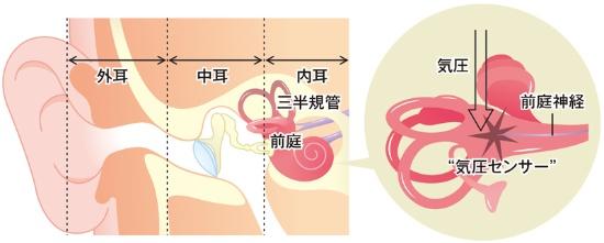 """■内耳の""""気圧センサー""""が気圧の変化を感知する"""